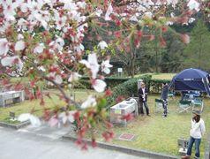 大原湖の桜は見頃を過ぎてました